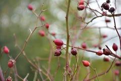 Jesień na słonecznym dniu, susząca roślina, czerwone dzikie różane owoc Zdjęcia Royalty Free