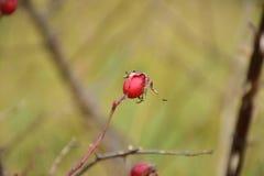 Jesień na słonecznym dniu, susząca roślina, czerwone dzikie różane owoc Obrazy Stock