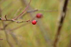 Jesień na słonecznym dniu, susząca roślina, czerwone dzikie różane owoc Zdjęcia Stock