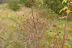 Jesień na słonecznym dniu, susząca roślina, czerwone owoc Obraz Stock