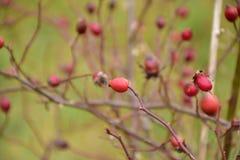 Jesień na słonecznym dniu, susząca roślina, czerwone owoc Zdjęcie Stock
