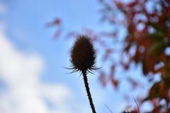 Jesień na słonecznym dniu, wysuszona wiązka oset Zdjęcia Stock