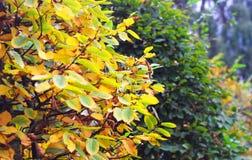 Jesień natura: w parku żółci i zieleni krzaki Zdjęcie Royalty Free