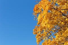 Jesień Niebieskiego nieba i koloru żółtego liście klonowi zdjęcia stock