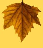 Jesień odosobniony liść Obrazy Stock
