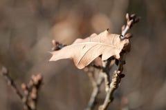 jesień opóźnionego liść osamotniony dąb Zdjęcie Stock