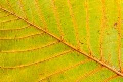 Jesień orzecha włoskiego drzewa liść odizolowywający na białym tle Zdjęcia Royalty Free