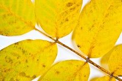 Jesień orzecha włoskiego drzewa liść odizolowywający na białym tle Obraz Royalty Free