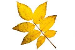 Jesień orzecha włoskiego drzewa liść odizolowywający na białym tle Z clipp Obrazy Royalty Free