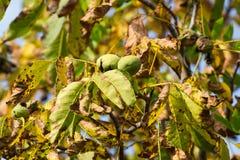 Jesień orzecha włoskiego drzewo z krakingowymi otwartymi dojrzałymi owoc Gałęziaści zieleni i koloru żółtego liście obrazy royalty free