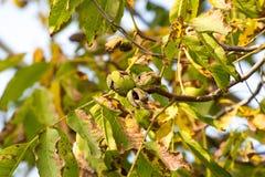 Jesień orzecha włoskiego drzewo z krakingowymi otwartymi dojrzałymi owoc Gałęziaści zieleni i koloru żółtego liście zdjęcie stock