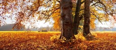 Jesień piękni drzewa. Park w Jesień. Panorama. Obraz Stock