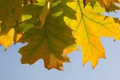 Jesień piękni liść Fotografia Stock