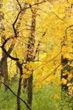 jesień piękny liść drewien kolor żółty Zdjęcia Stock