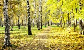 Jesień pogodny brzozy gaj w Październik Zdjęcia Stock