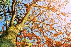Jesień pogodny widok rowan jagody jesieni drzewo przeciw błękitnemu jasnemu jesieni niebu - jesień krajobraz w pogodnej pogodzie Obraz Royalty Free