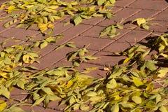 Jesień popiółu drzewa żółci liście zdjęcia stock