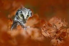 Jesień ptak Borealna sowa w pomarańczowym urlop jesieni lesie w środkowym Europa Wyszczególnia portret ptak w natury siedlisku, c Obraz Stock