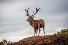 jesień rogaczy spadek majestatyczny portreta czerwieni jeleń fotografia royalty free