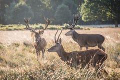 jesień rogaczy spadek majestatyczny portreta czerwieni jeleń obraz stock