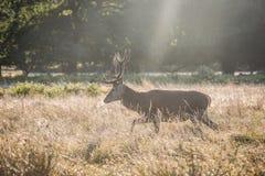 jesień rogaczy spadek majestatyczny portreta czerwieni jeleń zdjęcie stock