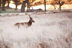 jesień rogaczy spadek majestatyczny portreta czerwieni jeleń zdjęcie royalty free