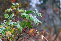 Jesień rozgałęzia się z mrozem na liściach Obraz Royalty Free