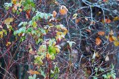 Jesień rozgałęzia się z mrozem na liściach Obrazy Royalty Free