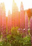 Jesień słońca kwiaty Fotografia Royalty Free