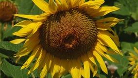 Jesień słoneczniki pod promieniami słońce zbiory