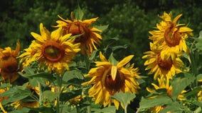 Jesień słoneczniki pod promieniami słońce zdjęcie wideo