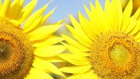 Jesień słoneczniki pod promieniami słońce zbiory wideo