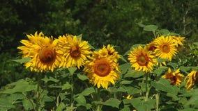 Jesień słoneczniki pod promieniami sun zbiory wideo