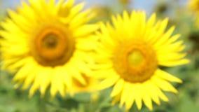 Jesień słoneczniki pod promieniami sun zbiory