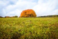 Jesień sezon, grupa pomarańczowi drzewa na polu Zdjęcia Stock