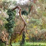 Jesień skrzywiony drzewny bagażnik przy ogródem botanicznym Macea, Arad okręg administracyjny - Rumunia zdjęcia stock