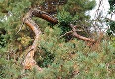 Jesień skrzywiony drzewny bagażnik przy ogródem botanicznym Macea, Arad okręg administracyjny - Rumunia fotografia stock