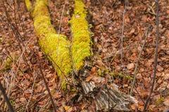 jesień spadać drzewo Na spadać drzewie zielony mech Sezonowy natury tło obraz stock