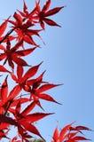 jesień spadek opuszczać czerwień Obraz Stock