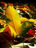 jesień spadek opuszczać klonu Zdjęcia Royalty Free