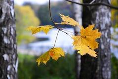 jesień spadek urlop klonu kolor żółty zdjęcie stock