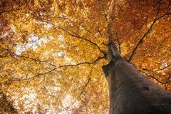 Jesień spadku drzewo z pomarańczowymi liśćmi Obrazy Royalty Free
