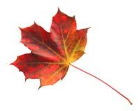 Jesień Stubarwny liść klonowy Zdjęcia Royalty Free