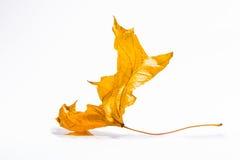 Jesień suchy stary liść Obraz Stock