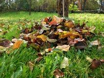 Jesień szczegół opuszcza w zielonej trawie i tle Zdjęcie Royalty Free