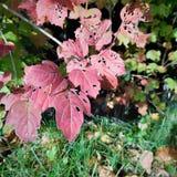 Jesień szczegółu liść Obraz Stock