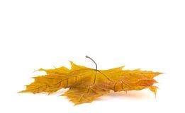 jesień tła odosobnionego liść klonowy biel Fotografia Royalty Free