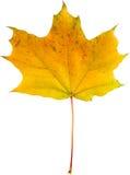 jesień tła odosobnionego liść klonowy biel Obraz Royalty Free
