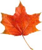 jesień tła odosobnionego liść klonowy biel Obrazy Stock