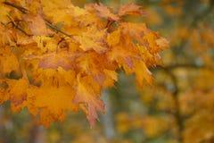 jesień tła odosobnionego liść klonowy biel Zdjęcie Royalty Free